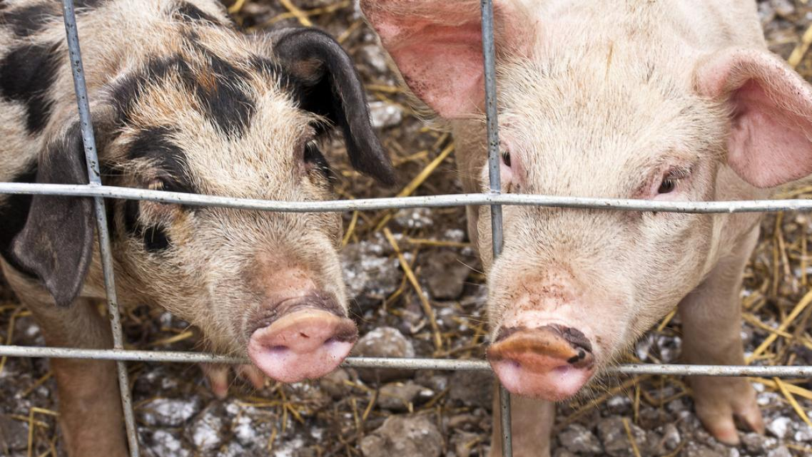 The journalists listed a dozen Danish pig farms as MRSA sources.