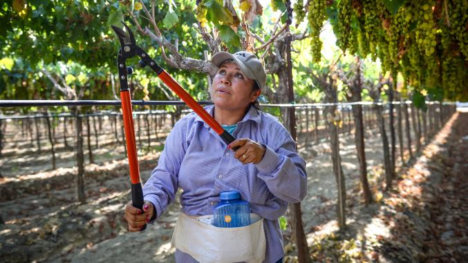 Judit Garcia prunes raisin grapes in a vineyard in Fresno County on Monday, Aug. 20, 2019.