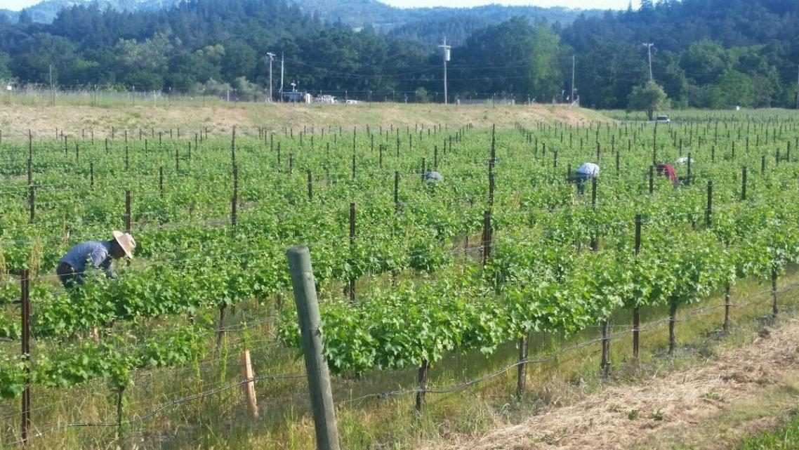 Farmworkers tend to the Girard vineyard on Highway 29.