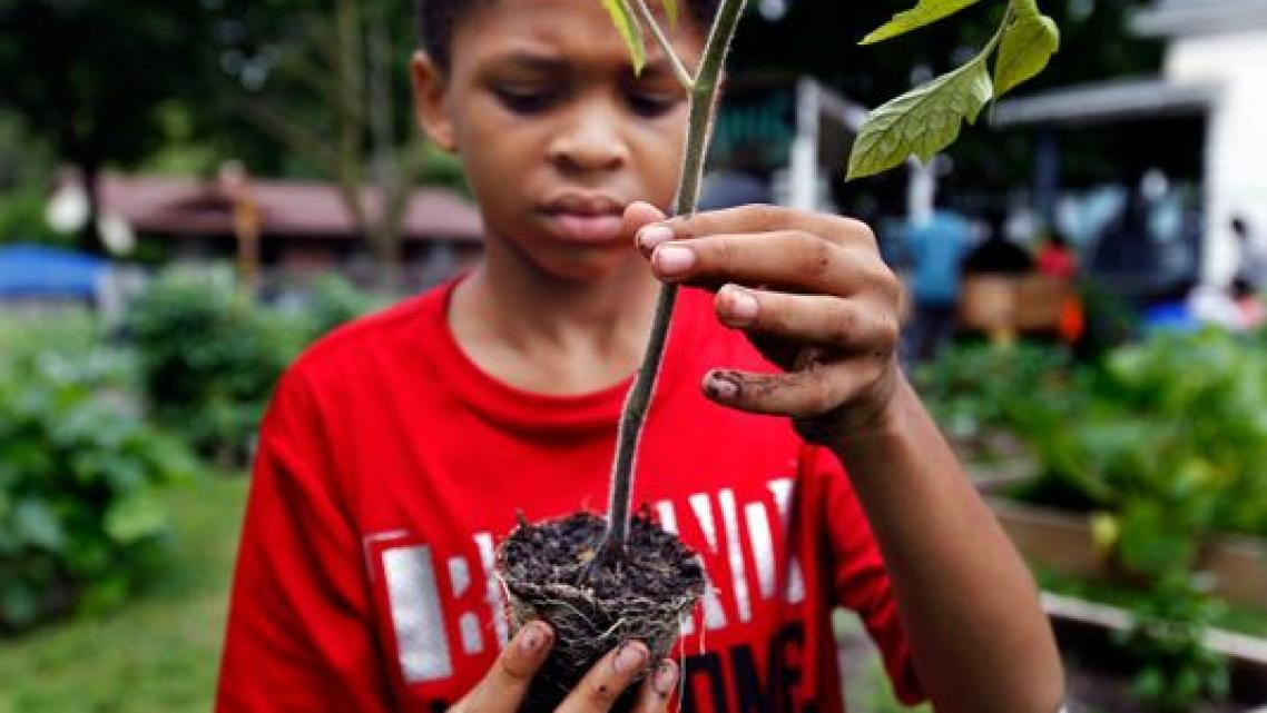 """Emmanuel Johnson, 12, prepares the roots of a tomato plant at the """"We Got This"""" urban garden in July. Emmanuel helped plant a do"""
