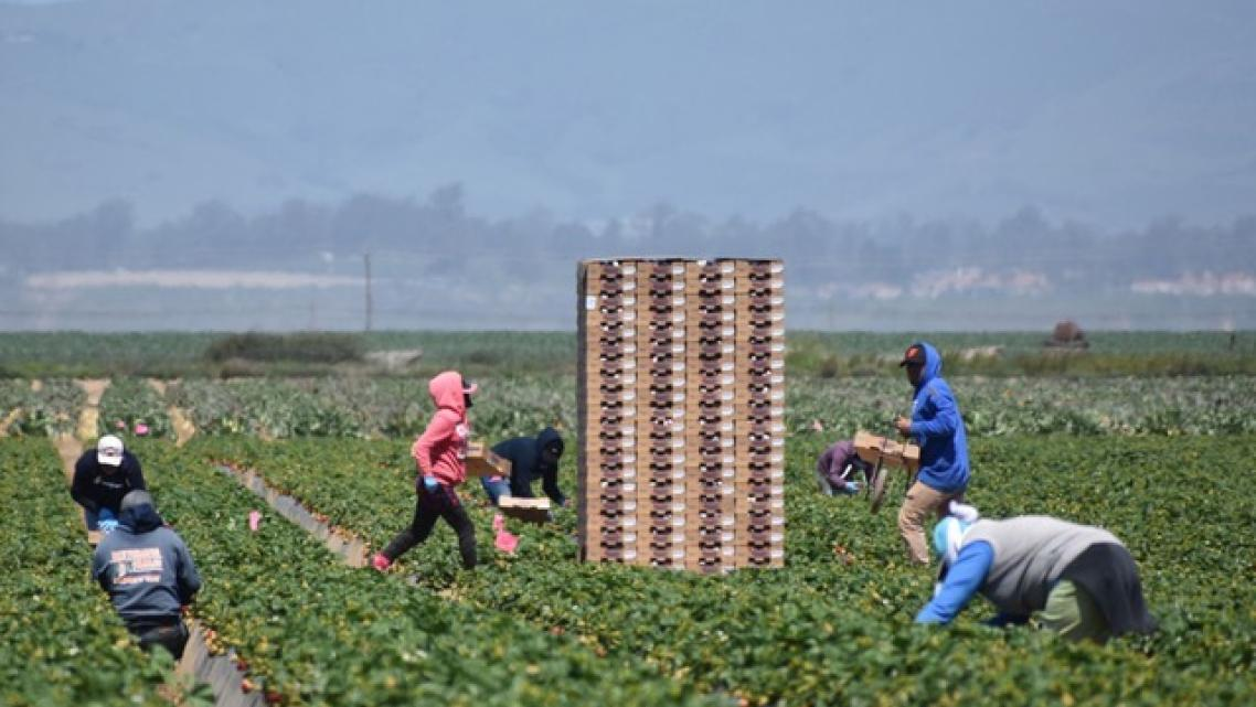 Workers pick strawberries in a field west of Santa Maria in April 2020.