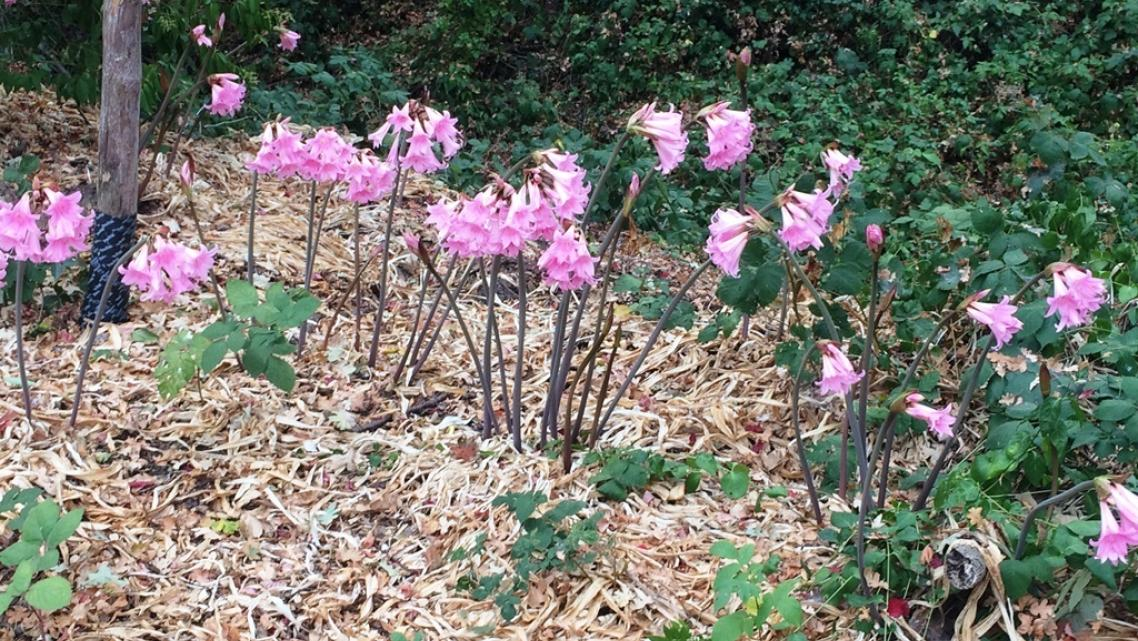 """(Photo: """"Naked ladies"""" at proposed Roseland Creek Park in Roseland. Among the subjects we'll be covering in our Roseland health"""