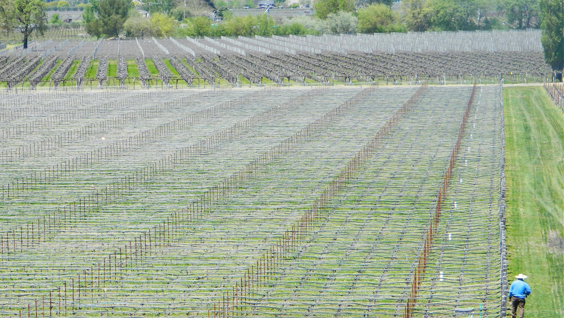 A worker in a Napa Valley vineyard.