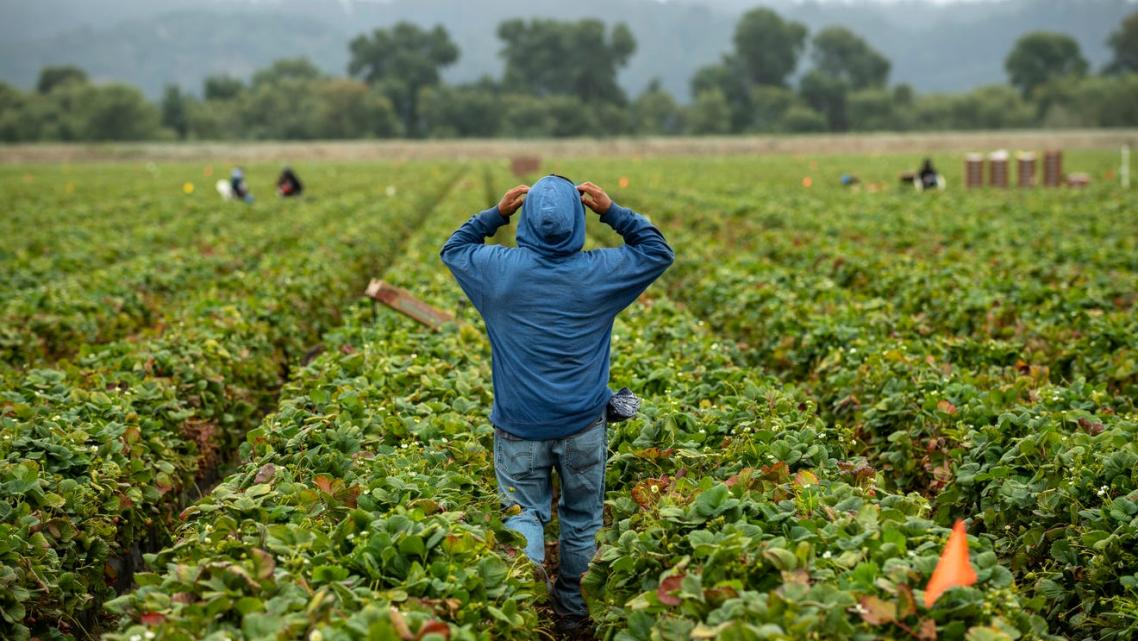A farmworker walks between rows of strawberries as he adjusts his hoodie in Watsonville, Calif.