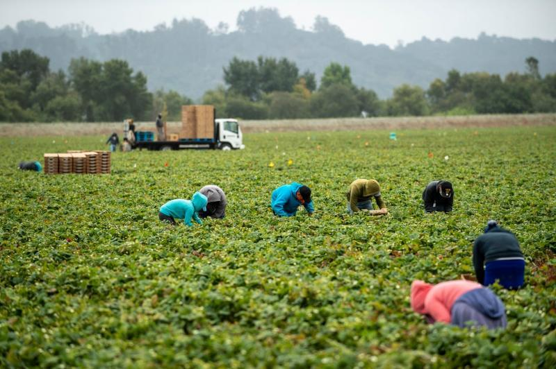 A row of five farmworkers pick strawberries in synchrony near two others in Watsonville, Calif. All of them are wearing long sleeves to protect their skin from the elements. David Rodriguez/The Salinas Californian & Catchlight