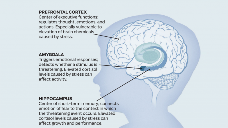 Graphic of the brain. Prefrontal cortex, Amygdala, Hippocampus. Living in violent neighborhoods raises the stress hormones in children's bodies, hurting development of the brain. (Illustration by Betsy Hayes. In Persistent Fear and Anxiety Can Affect Young Children's Learning and Development (2010).)