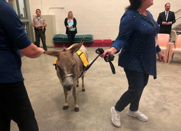 Rusty, a miniature donkey and certified therapy animal, visits inmates in a mental health therapy session at the West Valley Detention Center in Rancho Cucamonga along with his handler, volunteer Janella Denney, on July 9, 2019. (Photo courtesy of San Bernardino County Sheriff's Department)